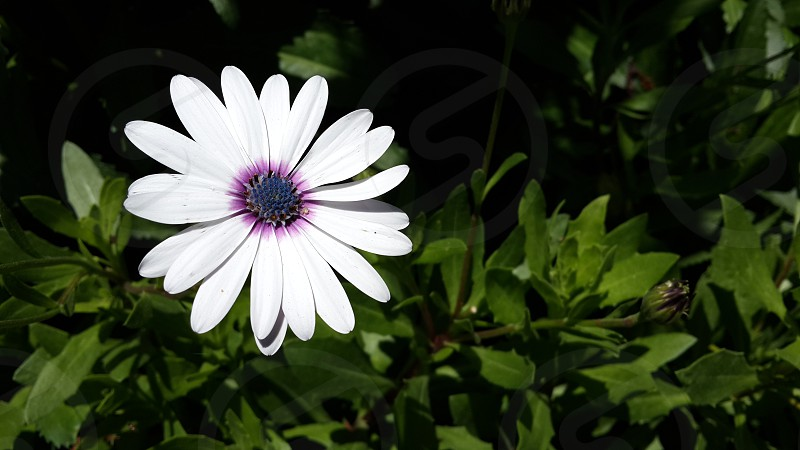 Beautiful white flower took it in El-Montazah Alexandria - Egypt photo