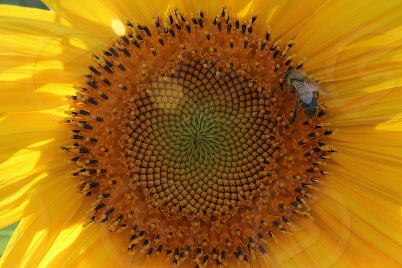 bright yellow sunflower and bee photo