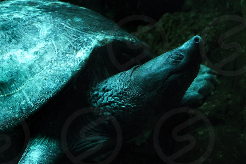 turtle with long nose photo
