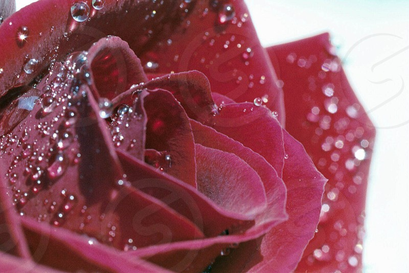 watery rose  photo