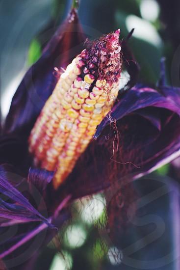 yellow corn photo