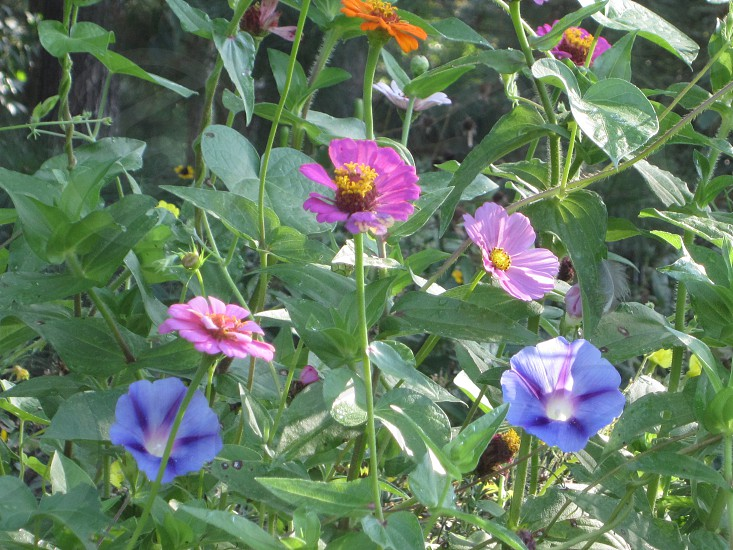 Morning Glories and other flowers in the morning sun photo
