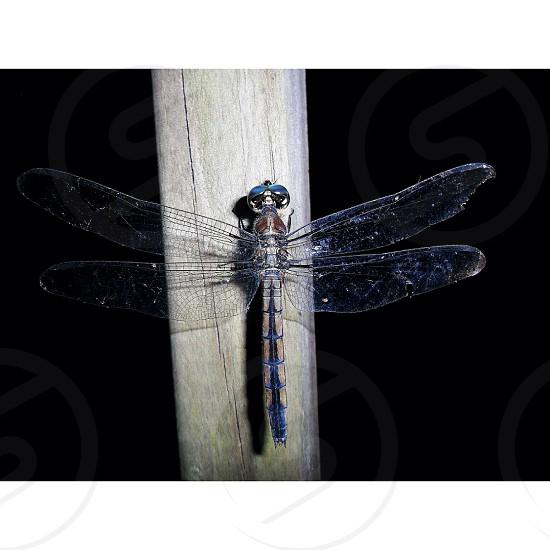 blue hawker dragonfly on grey wood photo