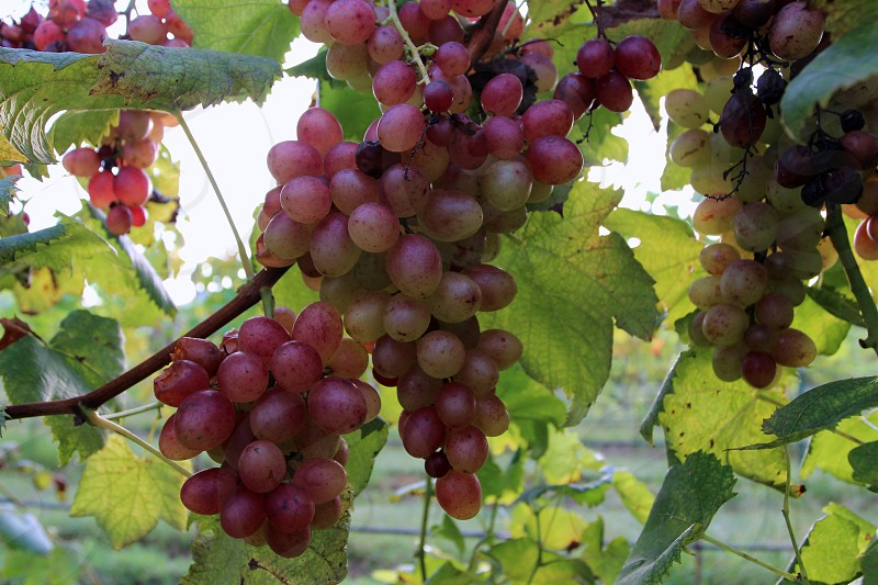 Red violet grapes with green leaves photo