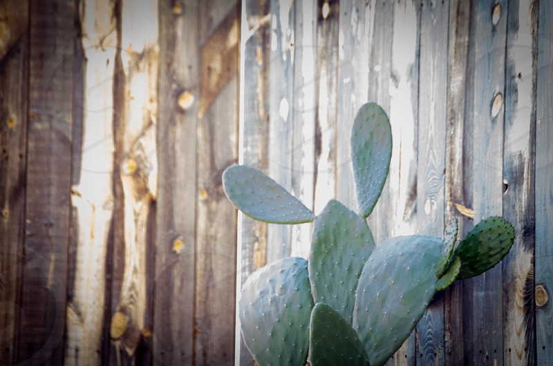 Cactus distressed wood wall photo