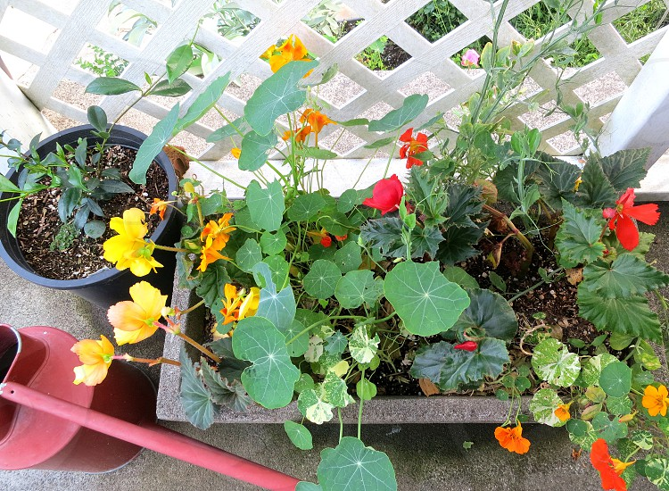 Nasturtiums in a planter photo