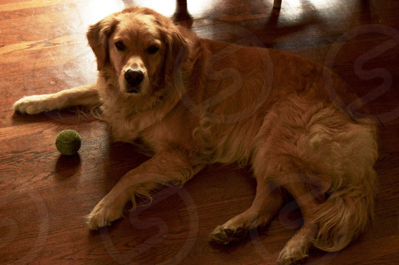 adult golden retriever prone lying on floor beside green tennis ball photo