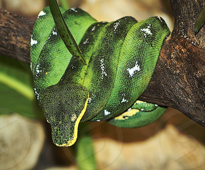 green and black snake  photo