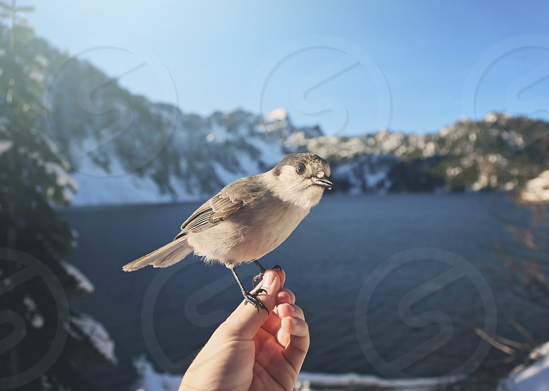 Birds at snow lake perch right on your hand. photo