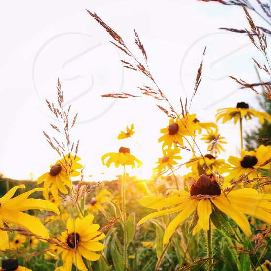 black eyed susan flower field on a sunny day photo