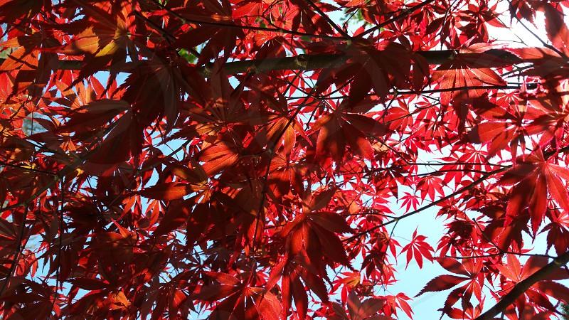 Kanazawa Japanese maple leaves photo