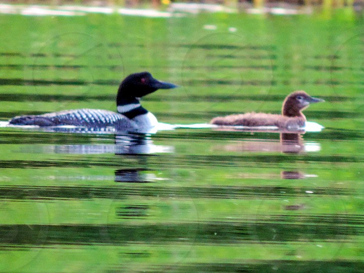 black and brown duck on body of water during daytime photo