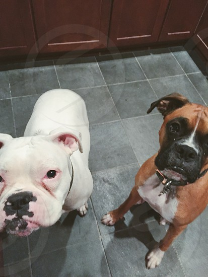 Two curious boxers photo