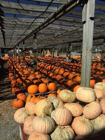 'Tis the season for Pumpkin Picking photo