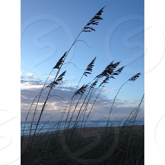 Sea oats. Flagler Beach Florida photo