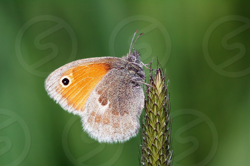 Small heath (butterfly) butterfly on grass. photo