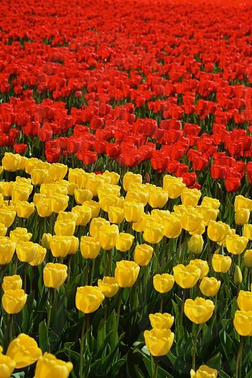 Tulip Fields - Netherlands photo