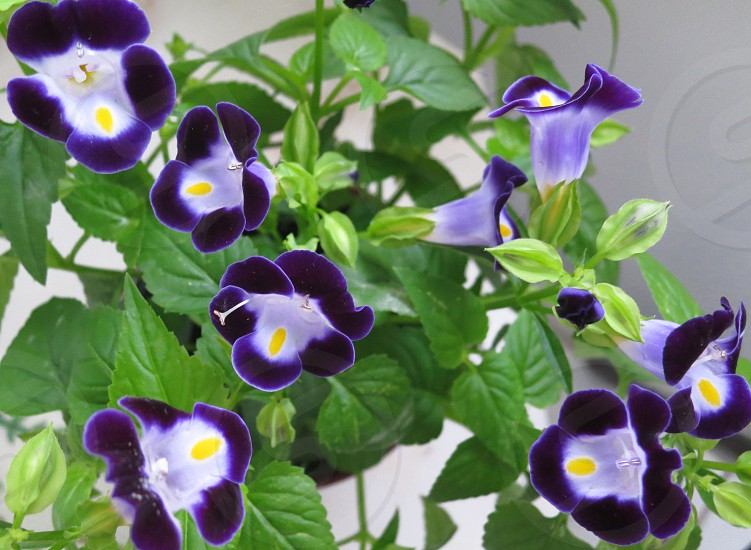 Torenia blooms photo