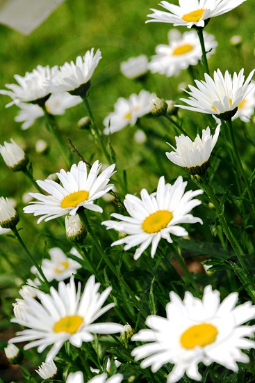 close up photography of daisy flowers photo