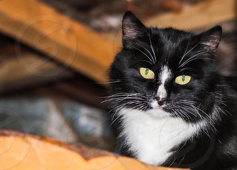 black white tuxedo long hair cat lying down on brown wooden surface photo