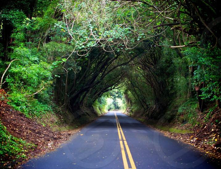 Tunnel of Trees on Hawaiian Island of Oahu.  photo
