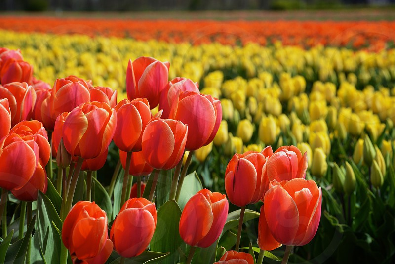 Beautiful tulips in the fields around the Netherlands photo