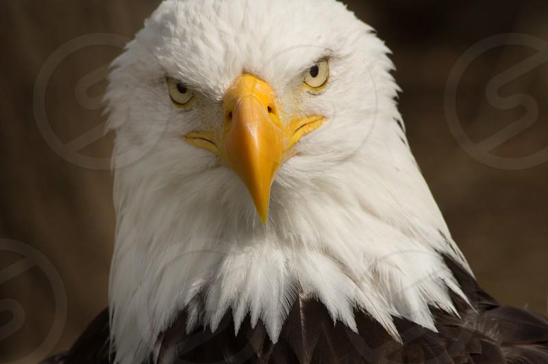 Bald Eagle eagle birds of prey  photo