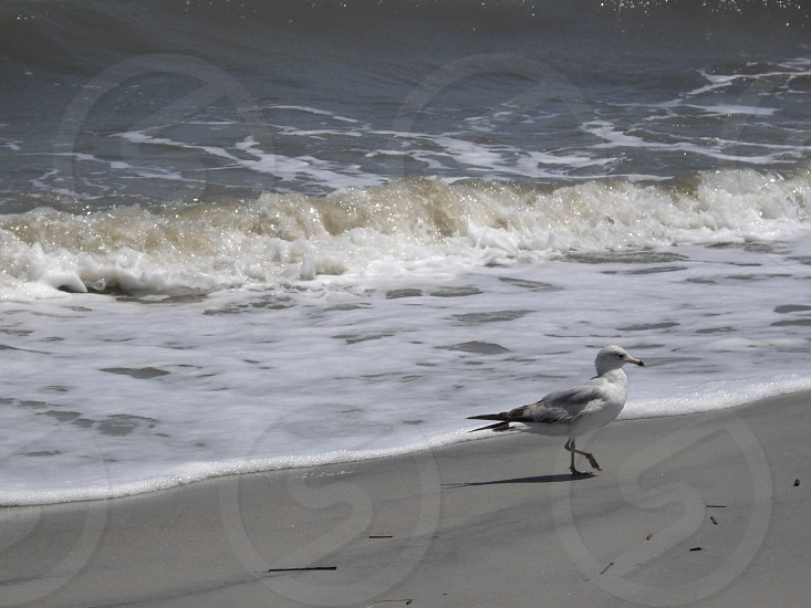 seagull shoreline waves photo