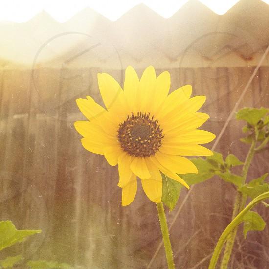 yellow sunflower plant photo