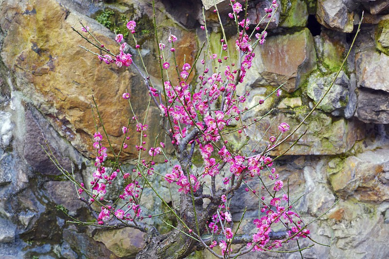 Flower blossom bloom prunus plum ume Japanese pink spring branch photo