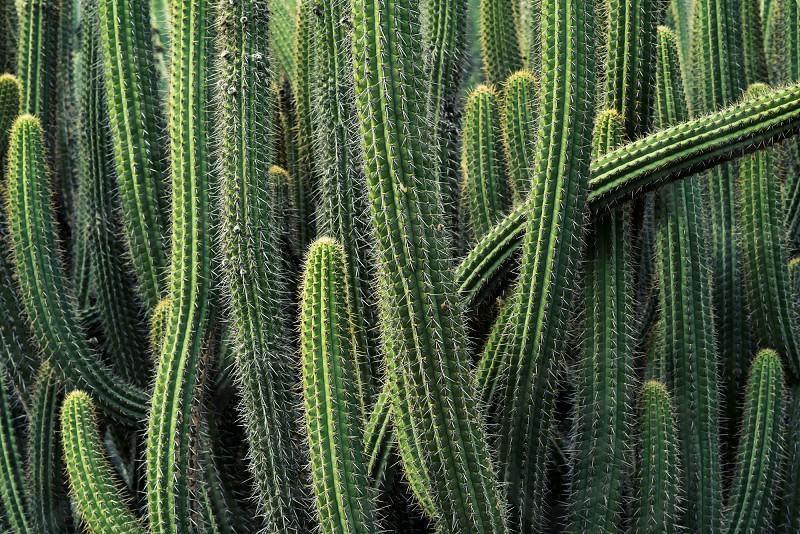 cactus green garden desert plant botany photo