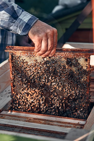 Beekeeper working in apiary. Drawing out the honeycomb from the hive with bees and honey on comb. Real people authentic situations photo