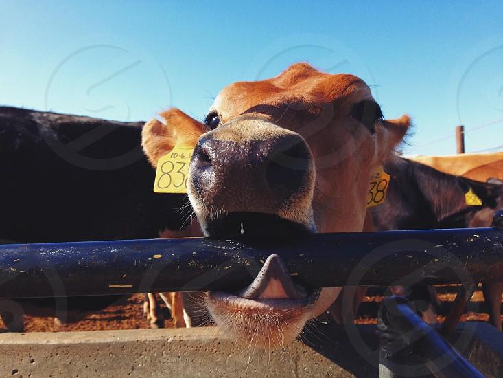 brown cow licking black steel bar photo