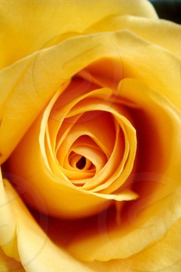 Close up of a soft yellow rose photo