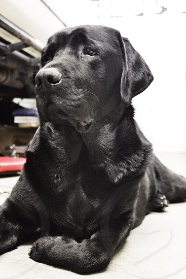 black short haired dog photo