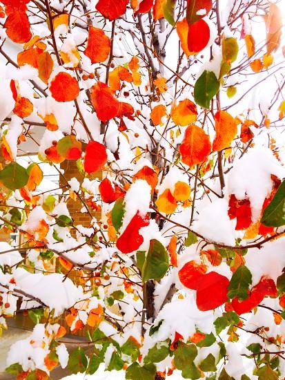 Snow autumn seasons early winter season confusion tree photo
