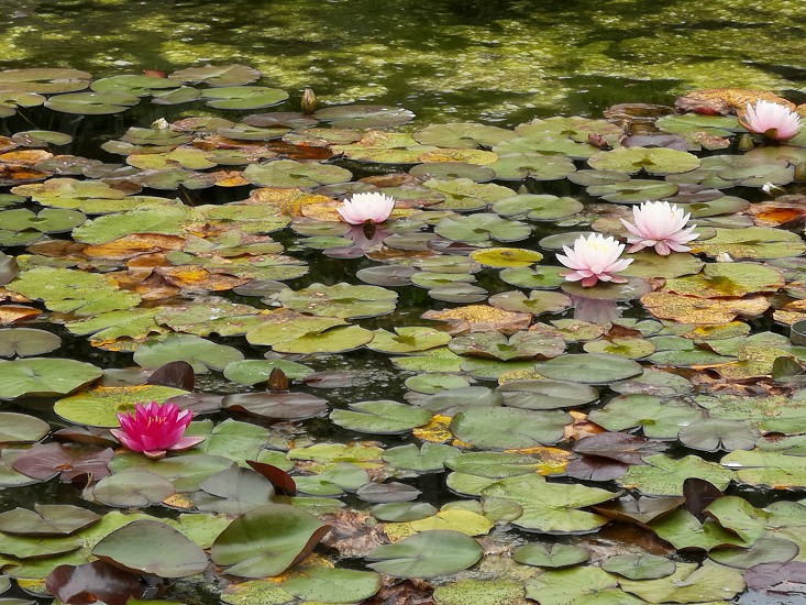 pink water lilies in bloom photo