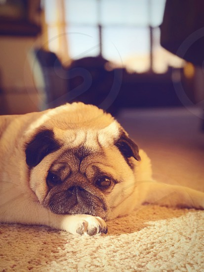 Pugs Dogs Pets Animals photo