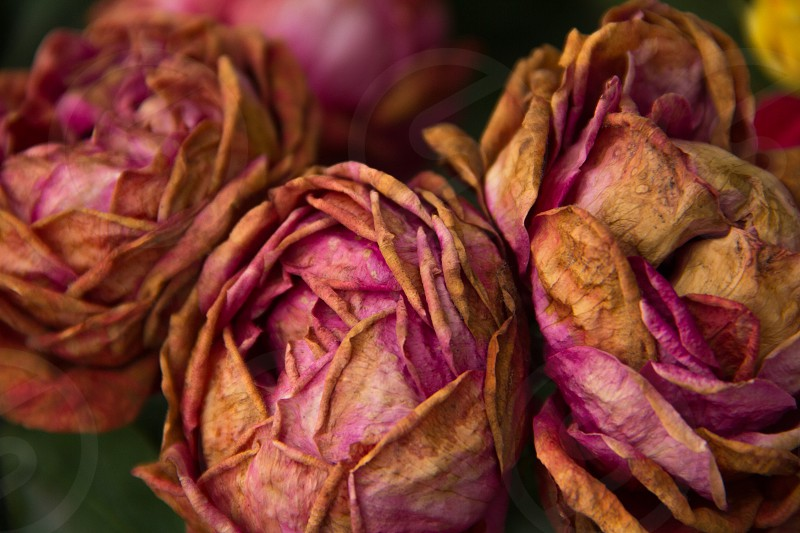 Dried roses International Rose Test Garden Portland Oregon. photo