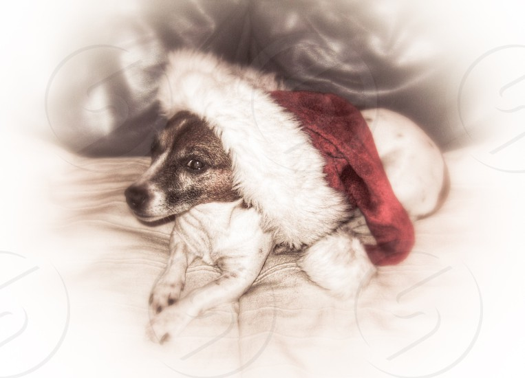 black and white dog wearing red and white christmas themed hat photo