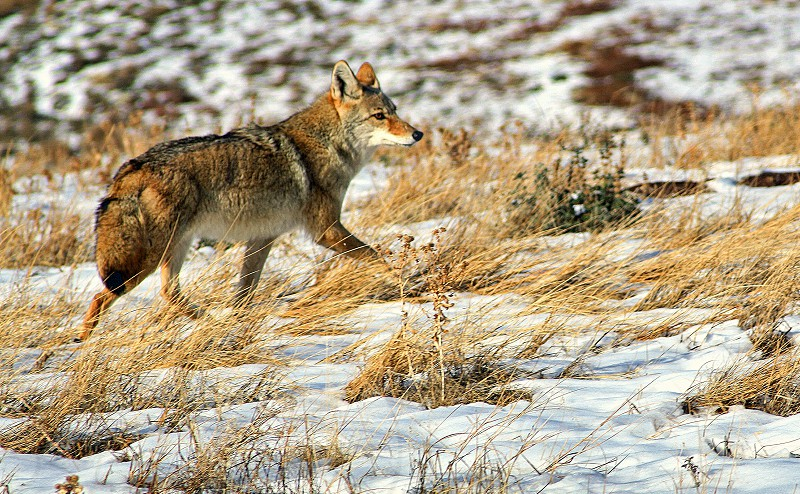 Coyote hunting in a snow covered field. photo