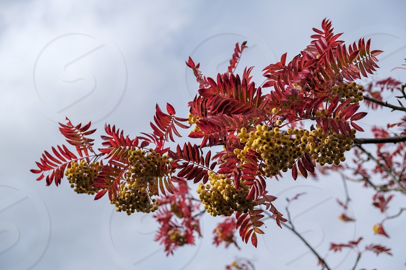 Rowan or Mountain Ash tree (Sorbus aucuparia)  Joseph Rock berries on a tree in East Grinstead photo