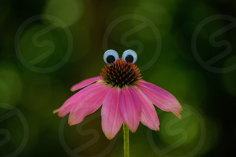 A flower with personality pink coneflower echinacea with eyes. photo