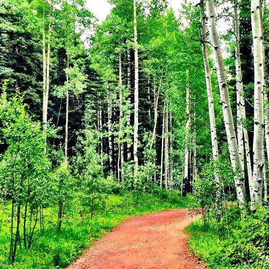 Aspen forest. photo