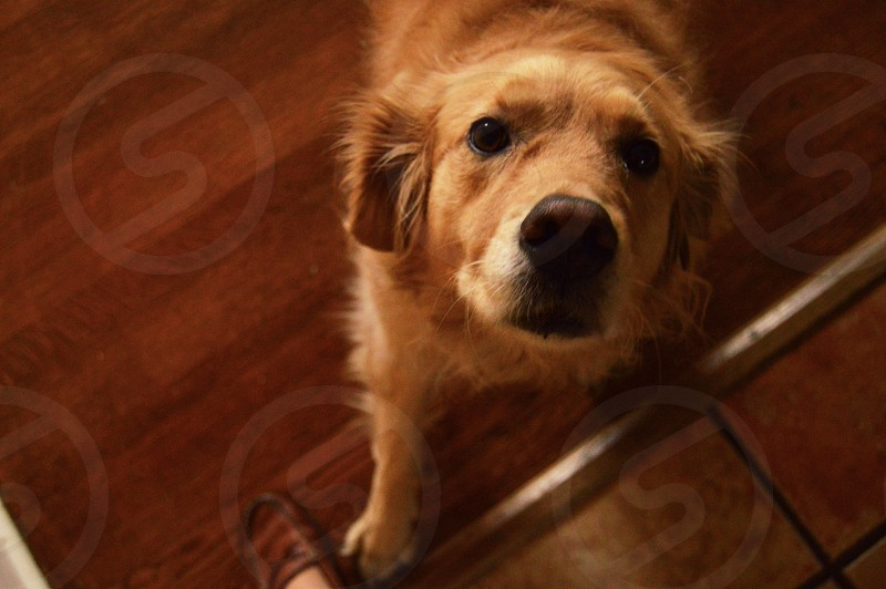 close-up of adult light golden retriever standing on brown parquet floor near person wearing brown leather shoes photo