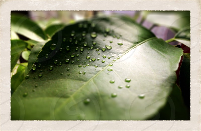 Water droplets on a green leaf photo