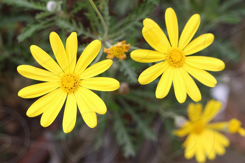 shallow focus photography of two yellow daisy flowers photo