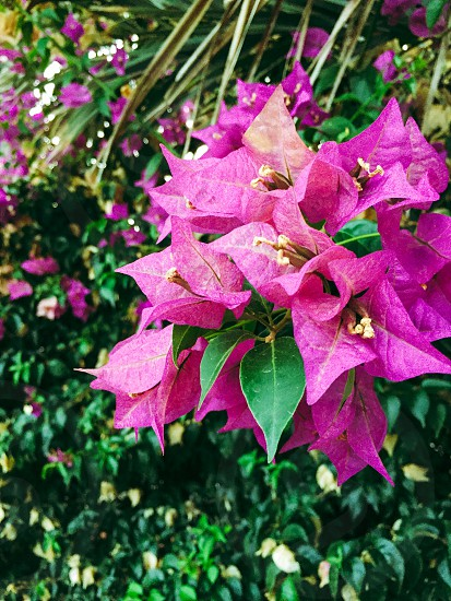 pink bougainvillea in bloom during daytime photo