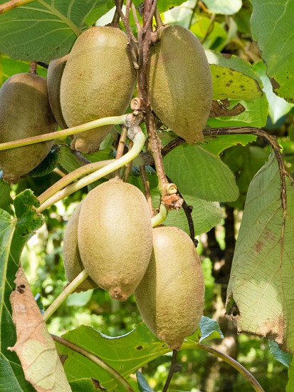 Closeup of cultivated ripe kiwifruits Actinidia deliciosa hanging heavily from vines ready to be harvested as an agricultural crop photo