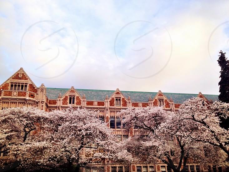 University of Washington cherry blossoms  photo